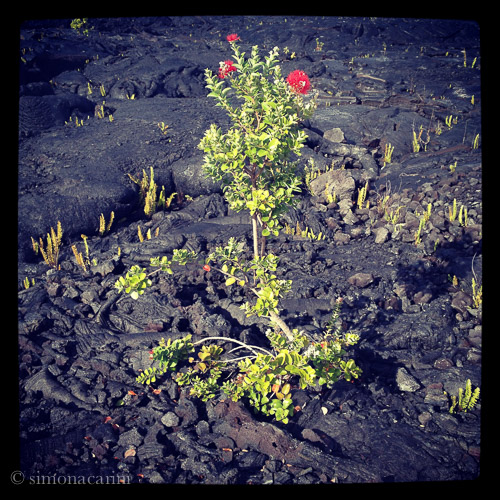 'Ōhi'a Lehua and ferns growing on volcano's lava