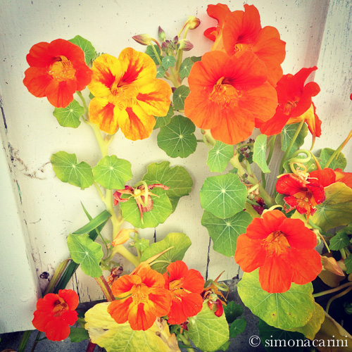 Garden nasturtium flowers in bloom