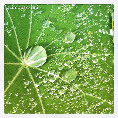 Leaf of garden nasturtium with raindrops