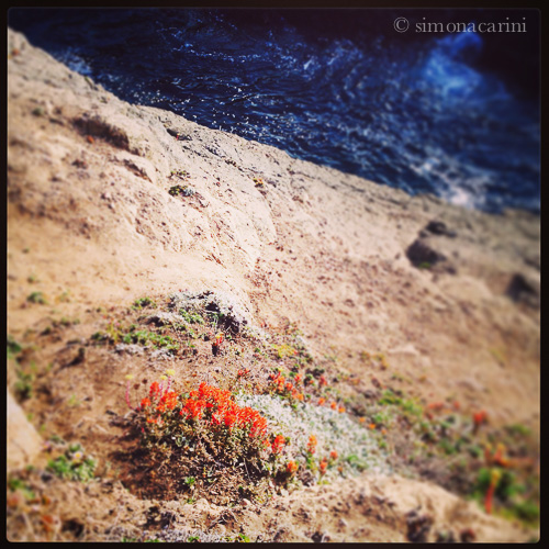Indian paintbrush blooming on the bluff (Mendocino Headlands)
